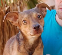 Louie - Nevada SPCA - 2 year old neutered Heinz 57 with Jack Russell Terrier & Chihuahua - Louie is kind, bashful, and affectionate.  He is housetrained.  He is good with cats, dogs, and kids.