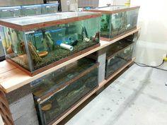 Breeder Tank / Holding Tank / Aquarium Fish Tank (Total 180 Gallons) Diy Aquarium, Aquarium Design, Aquarium Fish Tank, Betta Fish Tank, Fish Tanks, Snake Breeds, Fish Room, Fish Breeding, Tanked Aquariums