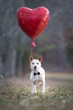 Adoptable Sparky from Georgia Jack Russell Rescue. Photo by Heavenly Pet Photography #love #valentines #dog # pets #photographer #terriers