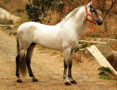 MARISMENO - The Best Spanish Horses - Horses for Sale Direct from Spain