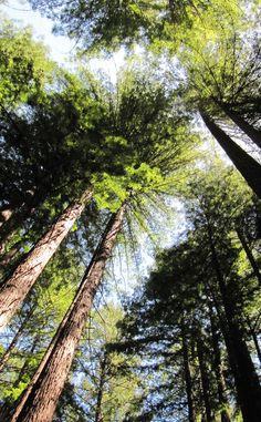 Armstrong Redwoods State Reserve | Travel | Vacation Ideas | Road Trip | Places to Visit | Guerneville | CA | Nature Reserve | Forest | Hiking Area