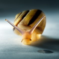 Translucent Snail