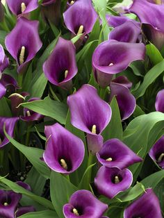 Regal Calla Lily Bulbs grow best in container gardens, medium sized flower pots and in the landscape. Regal is a purple calla lily plant that produces rich deep velvet purple blooms with prominent dark purple eyes. Lis Calla Violet, Purple Calla Lilies, Calla Lily, Purple Lily, Dark Purple, Exotic Flowers, Amazing Flowers, Purple Flowers, Beautiful Flowers