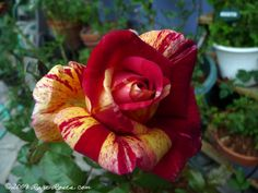Rare Roses: Rose: Broceliande