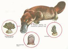 duck-billed platypus characteristics