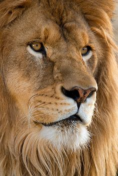 Magnificent Looking African Male Lion. Lion Photography, Wild Animals Photography, Lion Images, Lion Pictures, Beautiful Lion, Animals Beautiful, Lions Photos, Lion Cat, Lion Love