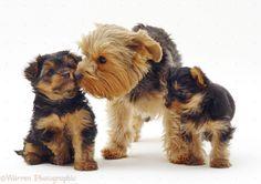 yorkshire terrier - Google Search #yorkshireterrier #DogLover