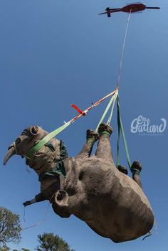 Elephants can't really fly, but rhinos can (with the help of a heli) - it happens in Africa where rhinos are sedated and moved to safe areas, protected from poachers