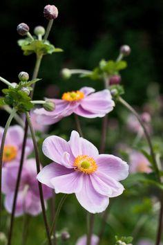 Japanese Anemones  Images : Rona Wheeldon for Flowerona/Lisa Cox
