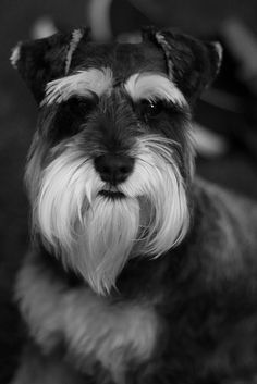 Lola_2 | miniature schnauzer. | Craig McCreadie | Flickr