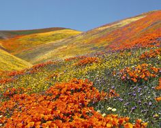 Millions upon millions of bright blooming poppies populate California's Antelope Valley, making it appear right out of an impressionist painting–or, if you would, an HD desktop wallpaper.