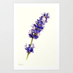 Mediterranean Lavender Art Print by Cindy Lou Bailey  - $18.00 A watercolor painting of the beautiful, fragrant Mediterranean Lavender on cream-colored Hot Press Arches water color paper.