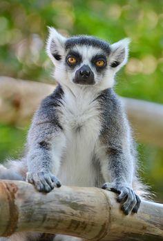 6b22b812bf4b 11 Best Lemur images