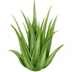 aloe vera gel mixed with turmeric powder can be applies to spider veins 2-3 times a day to help reduce them