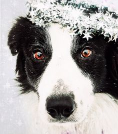 border collie……….ALL DECORATED AND GROOMED FOR CHRISTMAS…….HO-HO-HO-………………………ccp