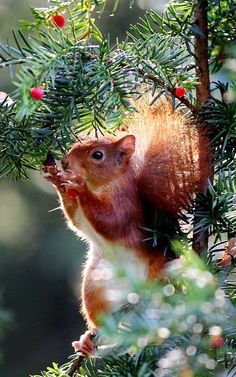 A red squirrel eats berries in a tree in Cologne, Germany Oliver Berg, AFP, Getty Images