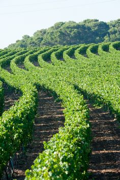 "Puglia is very famous for its wine... Here you can see a""Primitivo"" vineyard in Gioia del Colle. ITALIA"