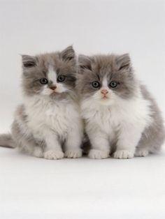 apositivelybeautifulblog:    (via FABULOUS FELINES / Domestic Cat, 9-Week, Blue Bicolour Persian Kittens)