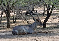 South Africa - Kruger Park (183) Waterbuck
