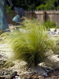 Native...Mexican Feathergrass.  One of a few plants to occur naturally in southwestern North America and in southern South America with no natural populations in between, N...