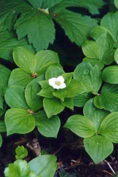 Great ground cover to try!  Bunchberry.