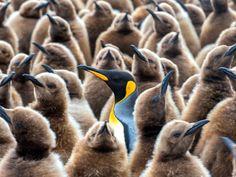 Penguins, Salisbury Plain, South Georgia Island  Hemis / SuperStock