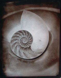 Wet plate Nautilus Still Life by John Fobes