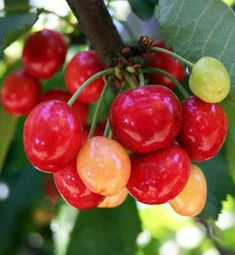 Coral Champagne Cherry Tree: Coral Champagne requires only 400 chilling hours to produce an abundant crop of cherries! Grows in zones gardening Eat Fruit, Fruit And Veg, Fruits And Veggies, Fresh Fruit, Exotic Fruit, Tropical Fruits, Exotic Flowers, Fruit Garden, Edible Garden
