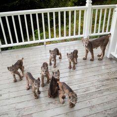 Un matin, l'américain Tim Newton a eu l'étonnante surprise de découvrir une maman Lynx et ses petits en train de jouer sur sa terrasse ! Basé en Alaska, c