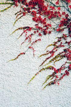 Virginia Creeper tendrils on a wall.