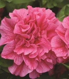Petunia Fragrant Double Tumbelina Clara