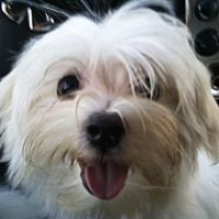 ► Maltese Rescue - Map of how many are available to adopt in each state  ===  http://maltese.rescueme.org