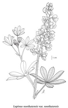 how to draw lupines - Google Search