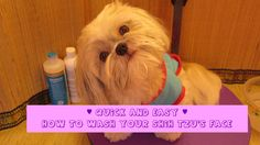 Quick and Easy Shih Tzu face wash - prevent tear stains - How to groom y...