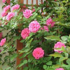 Top Quality Roses Zephirine Drouhin Over 270 Varieties of Roses