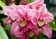 http://www.cultivando.com.br/plantas_detalhes/cymbidium.html  Nome popular: Cymbidium.  Nome científico: Cymbidium spp.     Família: Orchidaceae.  Origem: Ásia