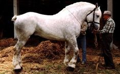 The Boulonnais is one of the most elegant of all of the draft breeds, known for their milky white coat and luxurious mane and tail, they have unmistakable characteristics. Their blood is often used to improve the stock of other draft breeds.