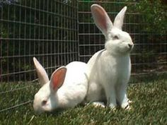New Zealand (8-12 pounds). These rabbits were bred for meat and fur production. They're the most popular rabbit for meat because of their size and the fact that they're ready to slaughter after only 2 months. They also average 8-10 bunnies per litter.