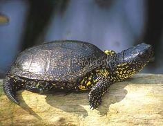 european pond turtle.