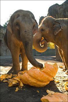 Aww... Elephants in Thailand love their pumpkins! <3