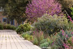 Permeable driveway beside mixed border of trees shrubs and flowers in Southern California, drought tolerant native plant garden using redbud, Ceanothus, clarkia, poppies