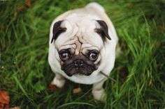 You look guilty, Mr. Pug
