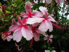 Habe zahlreiche mehrjährige Pflanzen o.g. Art sowie der Sorte Psyche abzugeben. Die Pflanzen sind alle schon zur Veredlung geeignet. Können auch als Kübelpflanzen gehalten werden, schnell wachsend, reich blühend!rosa - bzw. rotblühend.  Töpfe ab 9cm Durchmesser bis 15/18cm Dicke Stämme- zur Veredlung geeinget. Versand als Paket extra oder Abholung. Preise je nach Größe variabel ab 15-25 Euro pro Stück.Bilder zeigen Blüten der Pflanzen. Können sofort abgeholt werden