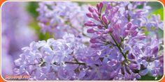 #Leylak #Yağı Mucizesini Keşfedin  Leylak nedir? Zeytingiller familyasına ait olan ve yirmiden fazla çeşidi olan bir bitkidir. Özellikle peyzaj alanında park ve bahçe süslemesinde yaygın olarak kullanılırken soğu da oldukça dayanaklılık gösterir.