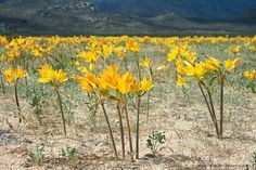 Photos of the rare event of Atacama desert in bloom, desierto florido in Chile. Only every five to eight years it rains and within weeks the driest…