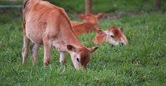 ¿Cómo criar vacas de Jersey?. Las vacas de Jersey son una de las razas más comunes de ganado. Buscadas por la producción de leche y sus temperamentos dóciles, las vacas de Jersey son una de las razas más puras de ganado. Se originaron en Inglaterra durante el siglo 18. Son fáciles de cuidar y pueden criarse en diferentes ambientes. Por ello, criar vacas de Jersey no implica un ...