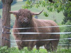 POSTALESDECAMPO  Ranchlife Highland Cattle