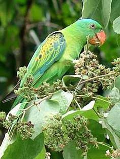 Great-billed Parrot (Tanygnathus megalorynchos) -