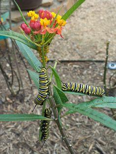 MonarchCaterpillars_opt