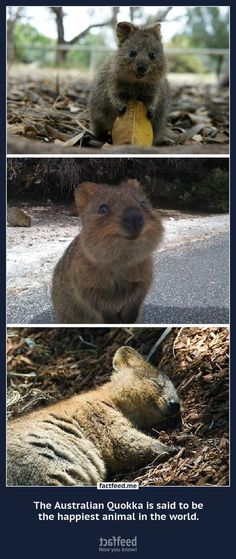 The Australian Quokka is said to be the happiest animal in the w - so cute!!!!